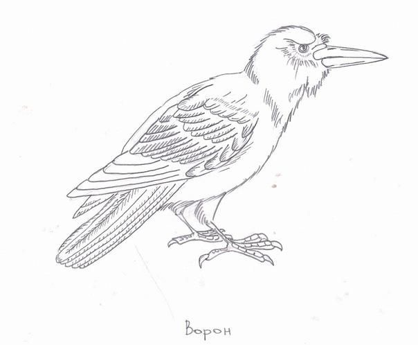 Эскиз ворона
